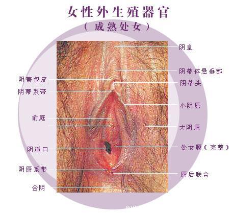 女性生殖器 阴道图片 女性生殖器图片