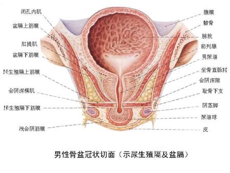 男性生殖器高清图,阴茎图