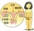 女性阴道生殖系统解剖图